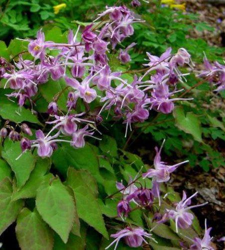 Epimedium grandiflora